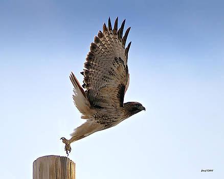 Raptor Road Red Tail Hawk by Stephen  Johnson