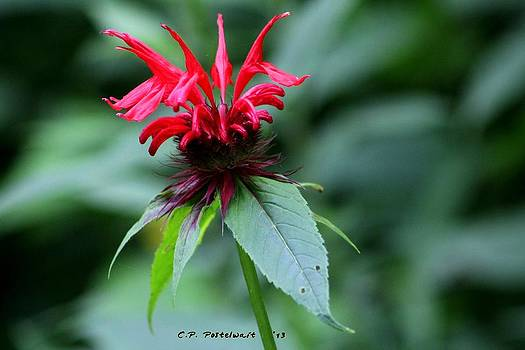 Raspberry Monarda by Carolyn Postelwait