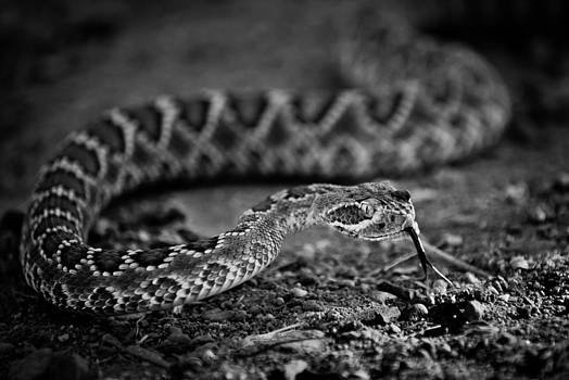 Rattlesnake by Swift Family