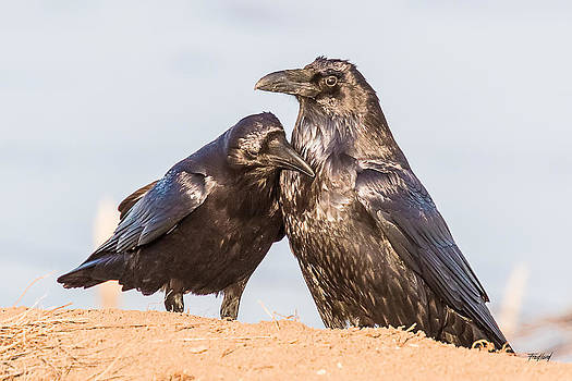 Raven Lovers by Fred J Lord