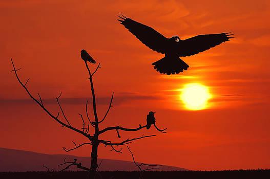 Raven Maniac by Ron Day