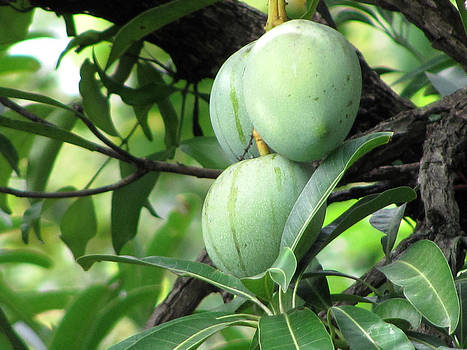 Raw Mangoes by Joe Zachariah