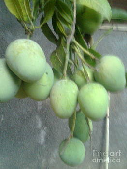 Raw Mangos by Bgi Gadgil