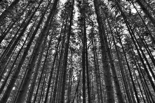 Reaching Pines by Don Nieman