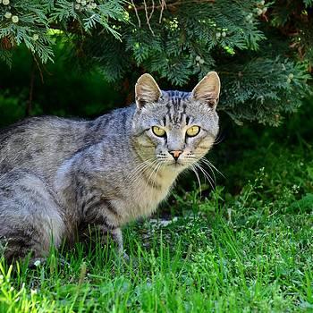 Gynt - Real Cat