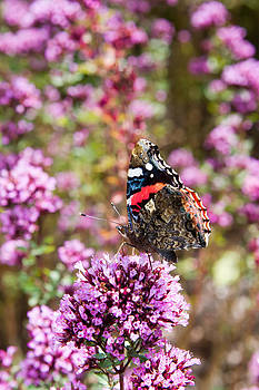 Fizzy Image - red admiral butterfly resting on a purple flower