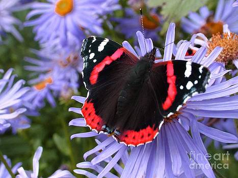 Joe Cashin - Red Admiral