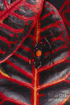 Art Wolfe - Red And Black Poison Arrow Frog