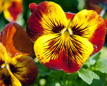 Leslie Cruz - Red and Gold Pansies