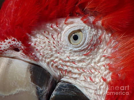 Christine Stack - Red and Green Macaw Closeup