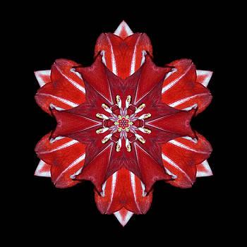 Red and White Amaryllis VII Flower Mandala by David J Bookbinder