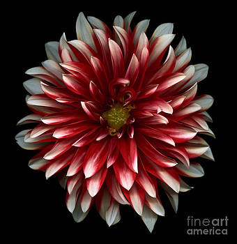 Oscar Gutierrez - Red and White Dahlia