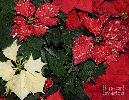 Red And White Poinsettia by Kathleen Struckle