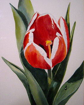 Red and White Tulip by Holly LaDue Ulrich