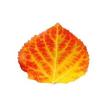 Red and Yellow Aspen Leaf 1 - Print Version by Agustin Goba