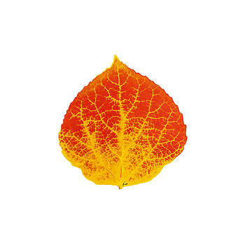 Red and Yellow Aspen Leaf 2 by Agustin Goba