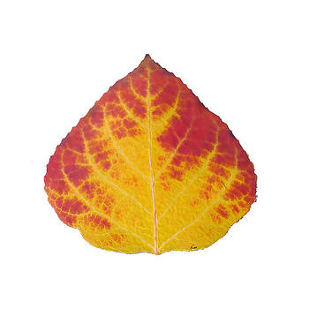 Red and Yellow Aspen Leaf 4 by Agustin Goba