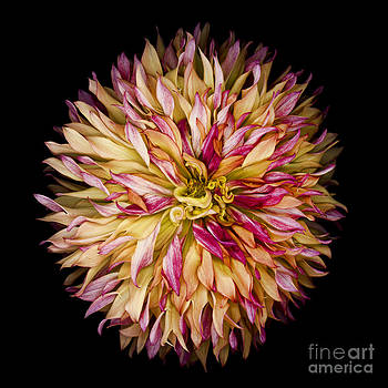 Oscar Gutierrez - Red and Yellow Dahlia