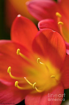 Red and yellow flower by Sarit Saliman