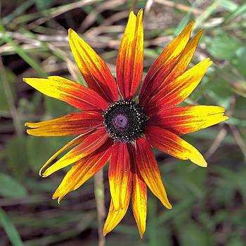 Red and Yellow Petals by Andrew Miles