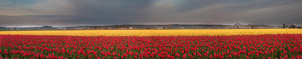 Red and Yellow Tulip Splendor by David  Forster
