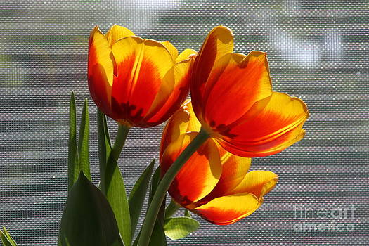 Red and Yellow Tulip's in a Window by Robert D  Brozek