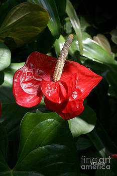 Red Anthurium by E B Schmidt