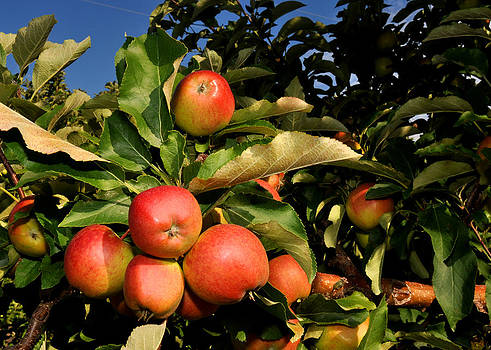 Red apples with leaves in a Michigan orchard by Diane Lent