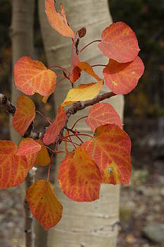 Julie Grandfield - Red Aspen Leaves