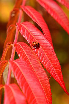 Gynt   - Red autumn leaves with ladybug