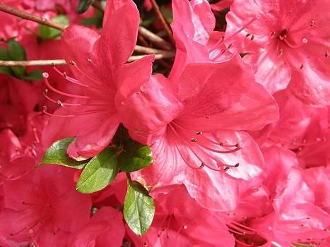 Red Azaleas  by Don Pettengill