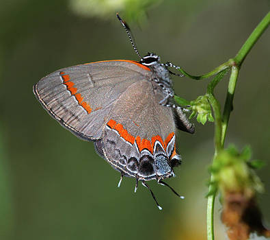 Red banded Beauty by April Wietrecki Green