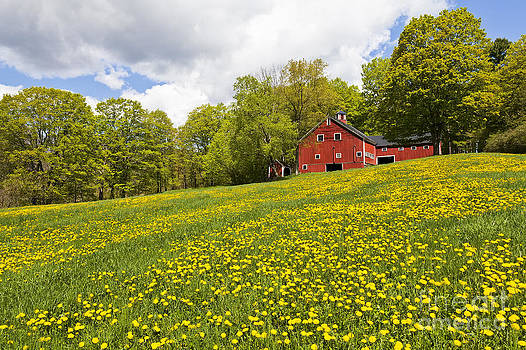 Red Barn In Field Of Dandelions by Alan L Graham