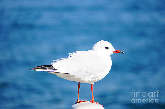 Beverly Claire Kaiya - Red-Beaked Seagull Resting on the Port 2
