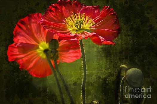 Heiko Koehrer-Wagner - Red Beauties in the Field