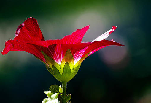 Red Beauty by Cindi Castro