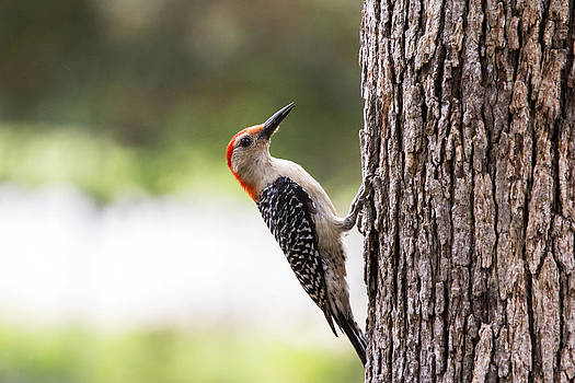 Red-Bellied Woodpecker by Dana Moyer