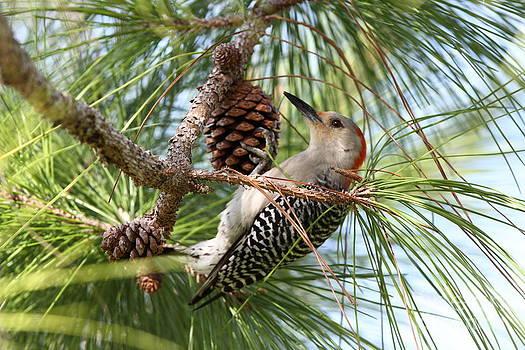 Red-bellied Woodpecker by Jennifer Zelik