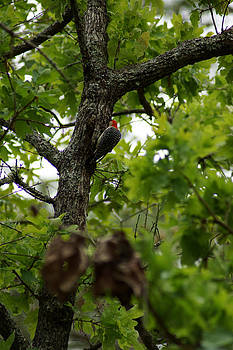 Red-bellied Woodpecker Melanerpes carolinus by Kim Pate