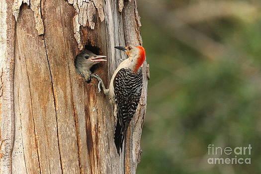 Red-bellied Woodpecker with Chick by Jennifer Zelik