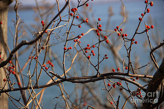 Red Berries 2 by Michael Mooney
