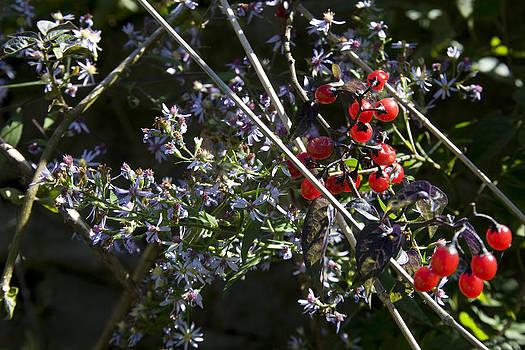 John Clark - Red Berries and Violet Flowers