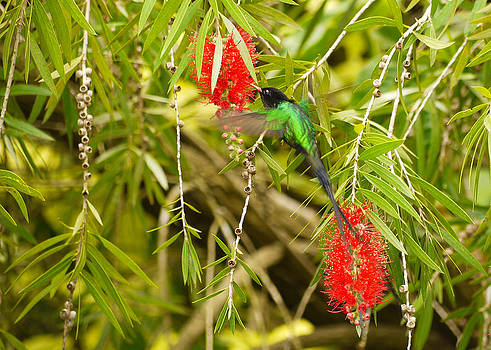 Red-billed Streamertail by Diane Porter