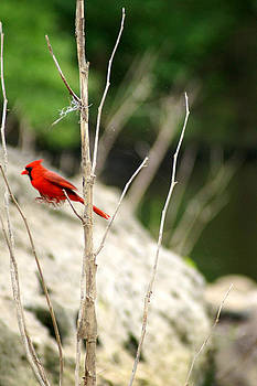 Red Bird Caught in the middle of Jumping  by Kim Pate