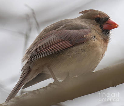 Dale Powell - Female Cardinal