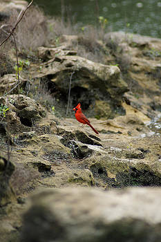 Red Bird on the rocky shore at the Flint River by Kim Pate
