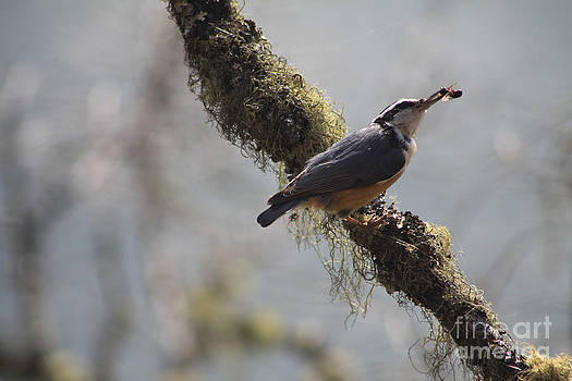 Alyce Taylor - Red Breasted Nuthatch