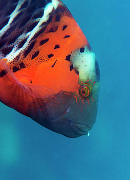 Red-breasted Wrasse by Louise Murray