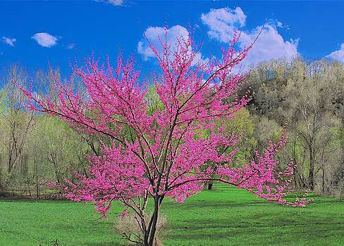 Red Bud by Larry Bodinson