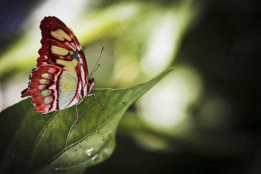 Red Butterfly by Bradley R Youngberg